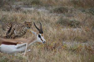 Gepard auf der Jagd