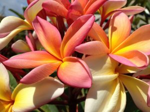 Madeira Blumen