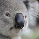 koala-630117_1920